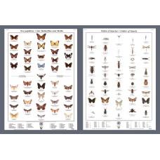 Mini-affiche - Papillons et ordres d'insectes
